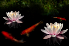 Pond Fish - Better Pets and Gardens