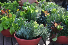 Growing Herbs In Pots Better Pets And Gardens