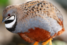 Quails in the Aviary - Better Pets and Gardens
