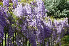 Growing Wisteria Better Pets And Gardens