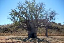 Boab tree_Rick