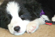 Border collie_puppy web
