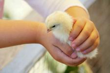 Chick_web