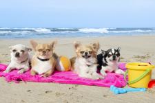 Chihuahuas_beach_web