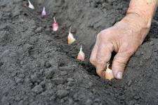 Garlic planting_web