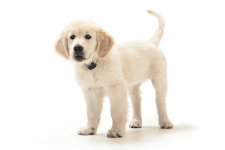 Golden Retriever_Puppy_web
