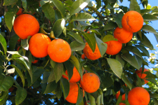 Orange tree2_web