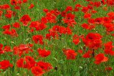 Poppies in field_web 2