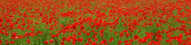 Poppies in field_web 3