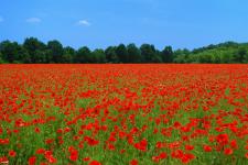 Poppies in field_web