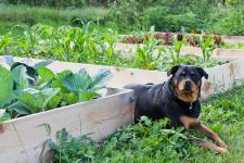 Rottweiler_vegetable garden_web