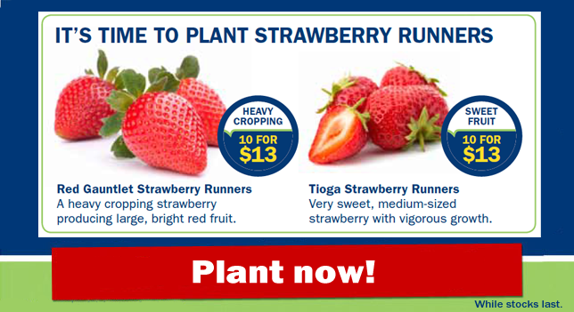 Strawberry Runners_Plant now