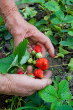 Strawberries_hand_web