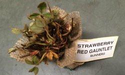 Strawberry Runners, ready for sale.