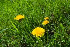 Weed_dandelion_web